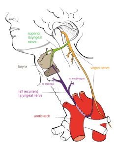 recurrent laryngeal nerve